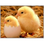 Poultry incubators 440 egg capacity
